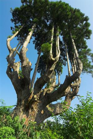 夢ハウス育成林の台杉